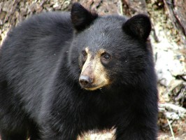 black_bear_mammal_221850
