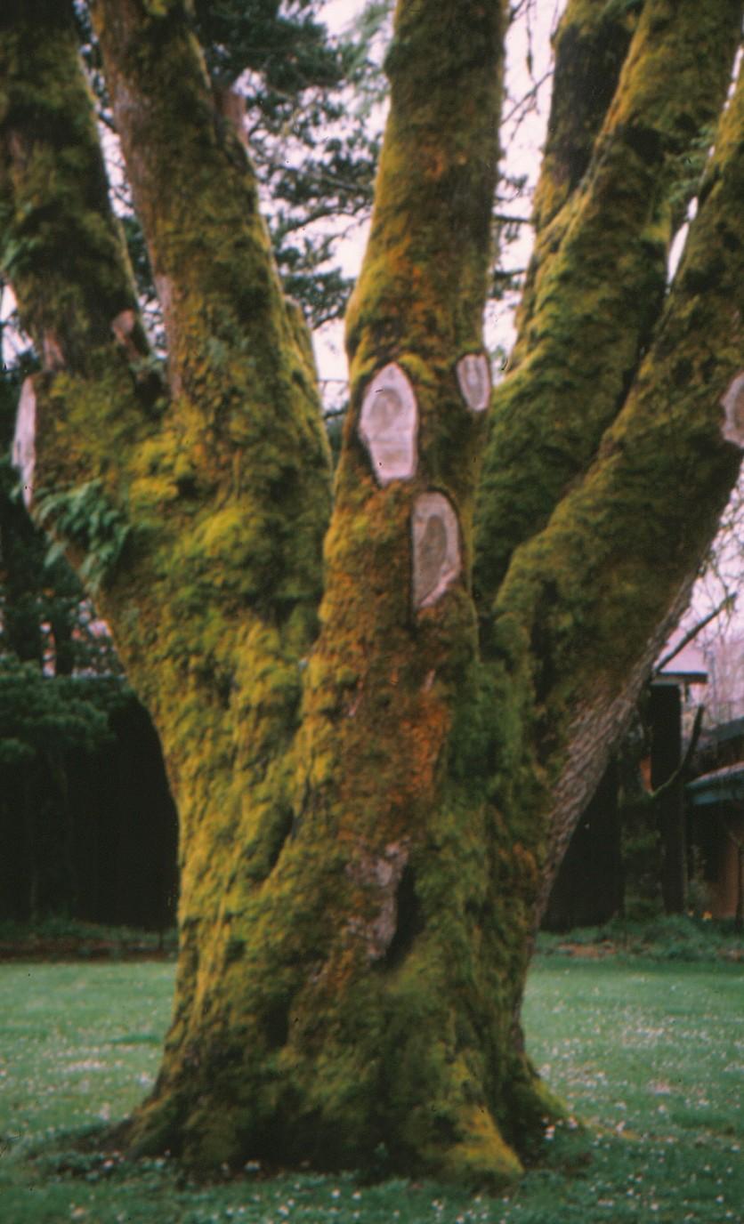 mossy-tree